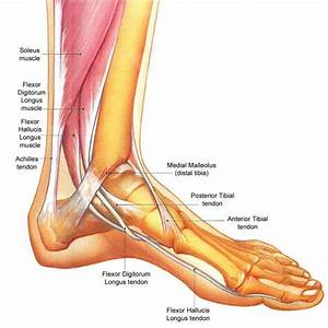 foot structure